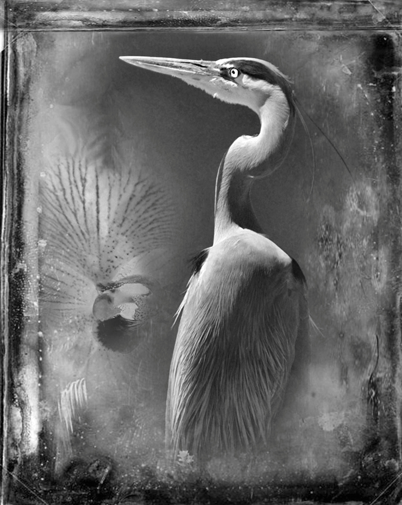Great Blue Heron © Dianne Yudleson