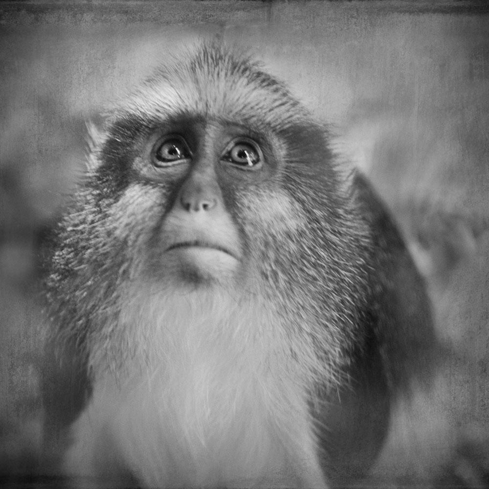 Guenon © Anne Berry