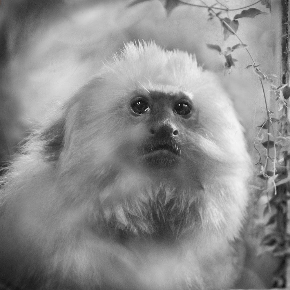 Lion Tamarin © Anne Berry