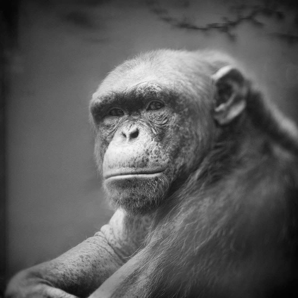 Chimpanzee © Anne Berry