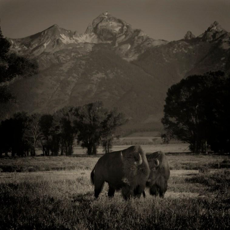 2 Buffalo © Jack Spencer