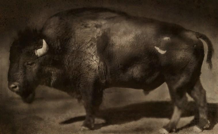 Buffalo ©Jack Spencer
