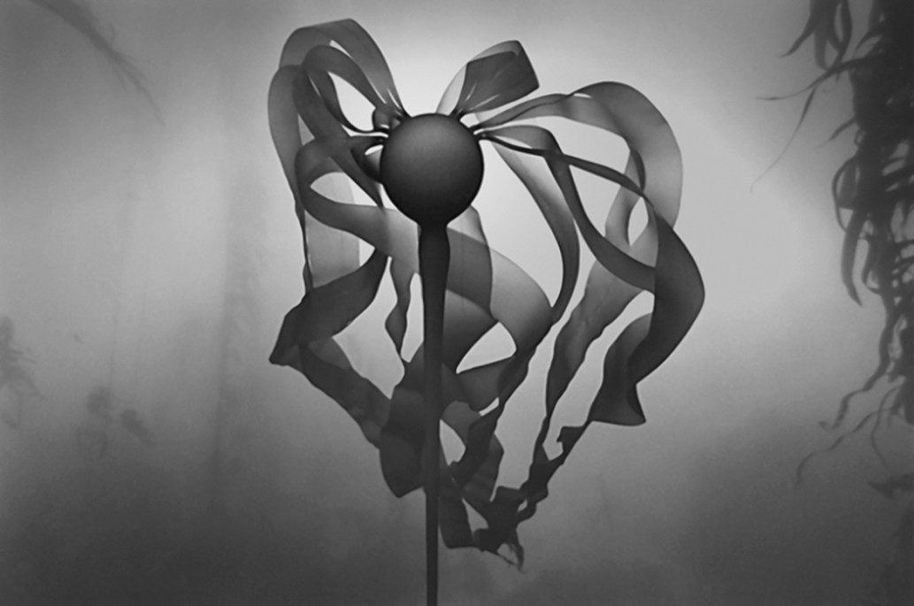 Bull Kelp © Chuck Davis