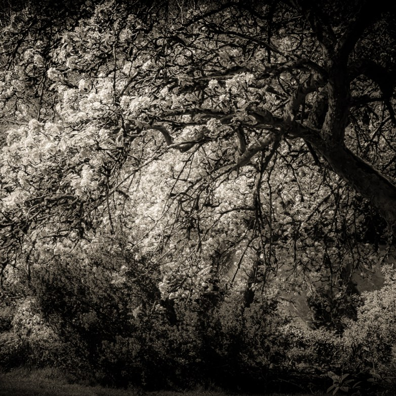 Apple Tree ©  Barbara Moon Batista