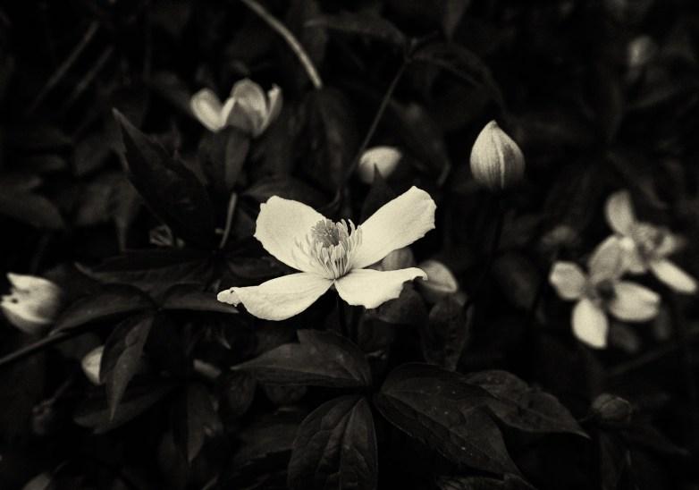 Celtic Rose © Barbara Moon Batista