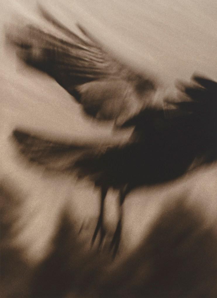 Crow 4 © Jane Olin