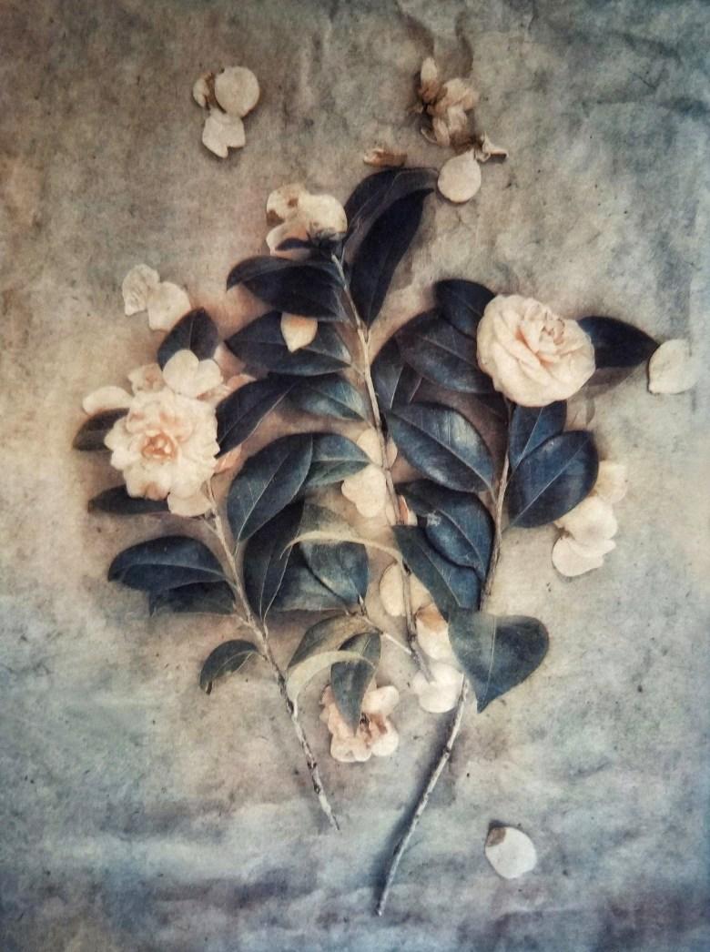 Camellias © Diana Bloomfield