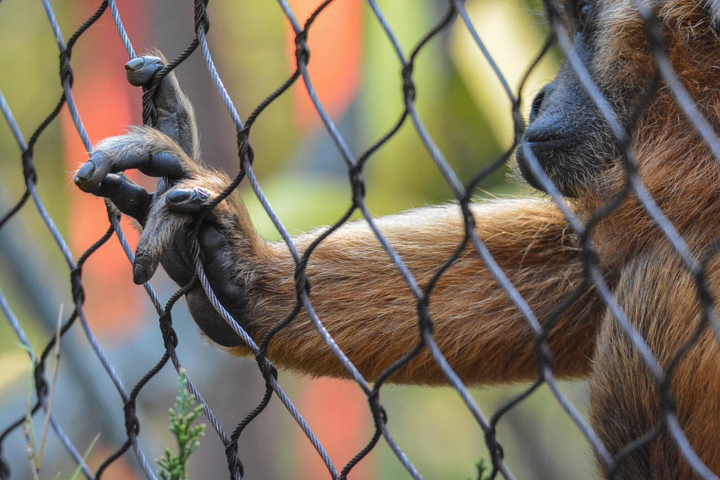 Howler Monkey © Karen Bullock