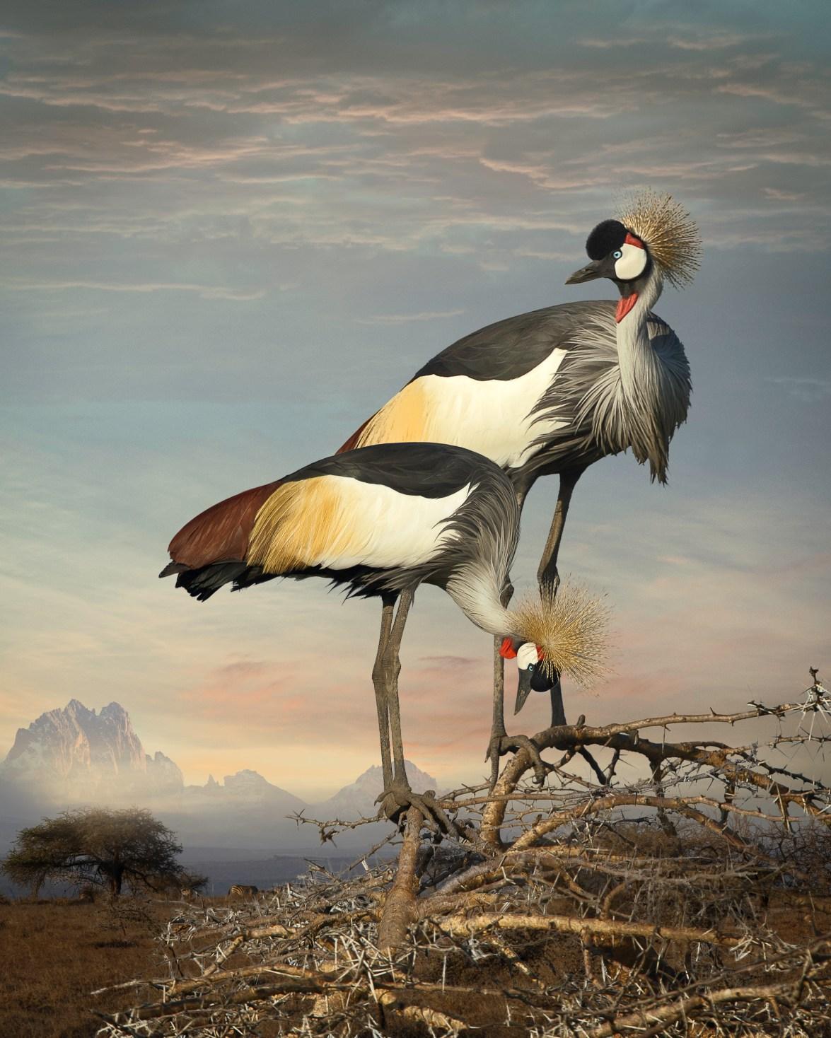 Grey Crowned Cranes ©Cheryl Medow