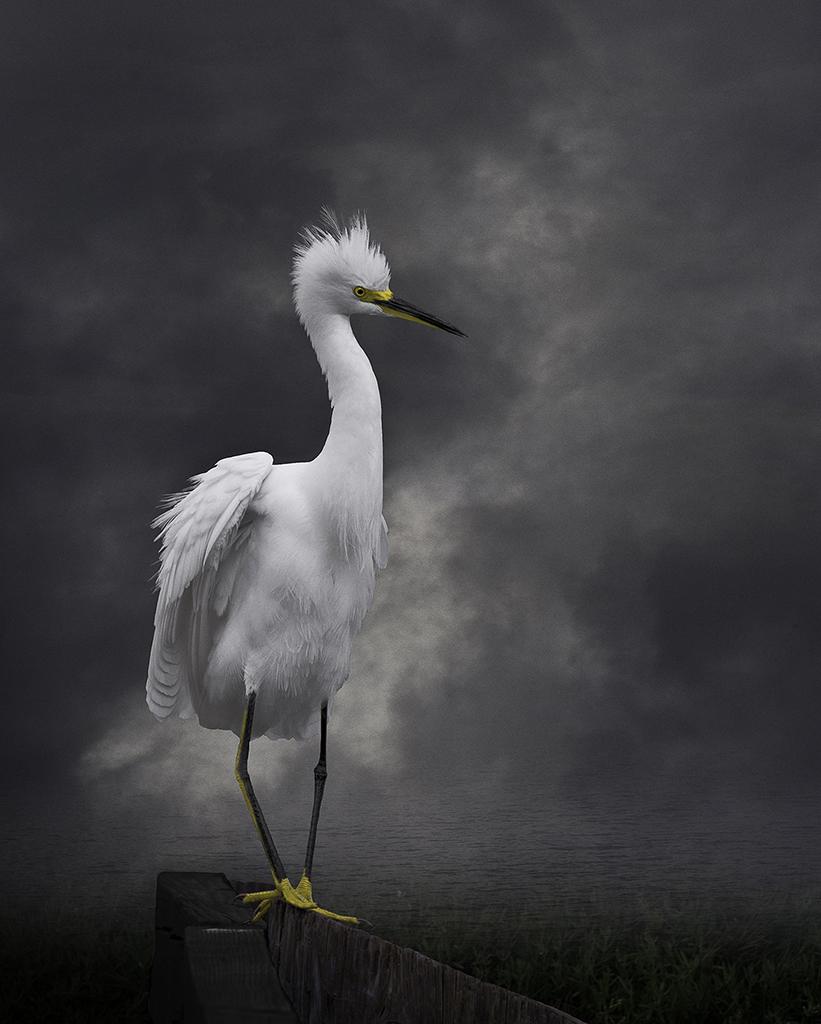Snowy Egret on the Wooden Fence © Cheryl Medow