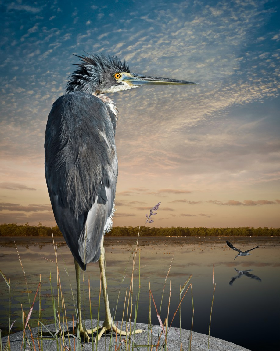 Tri-Colored Heron and a Skimmer © Cheryl Medow