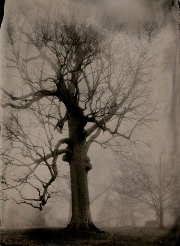 Large Oak © Susan Bryant