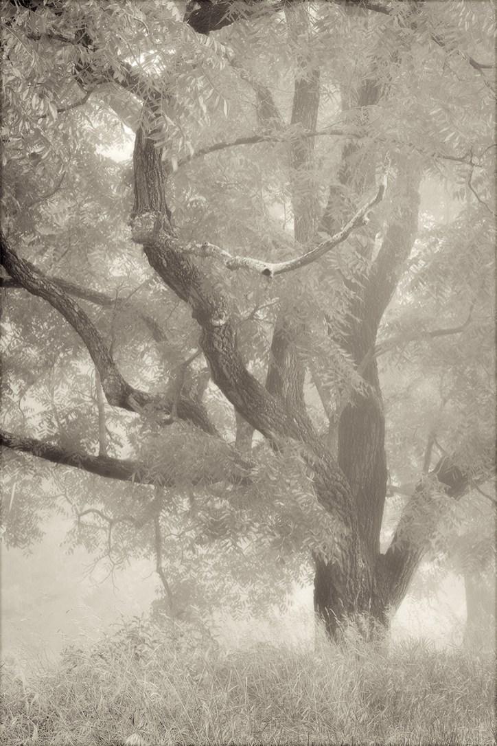 Walnut © Mark Muse