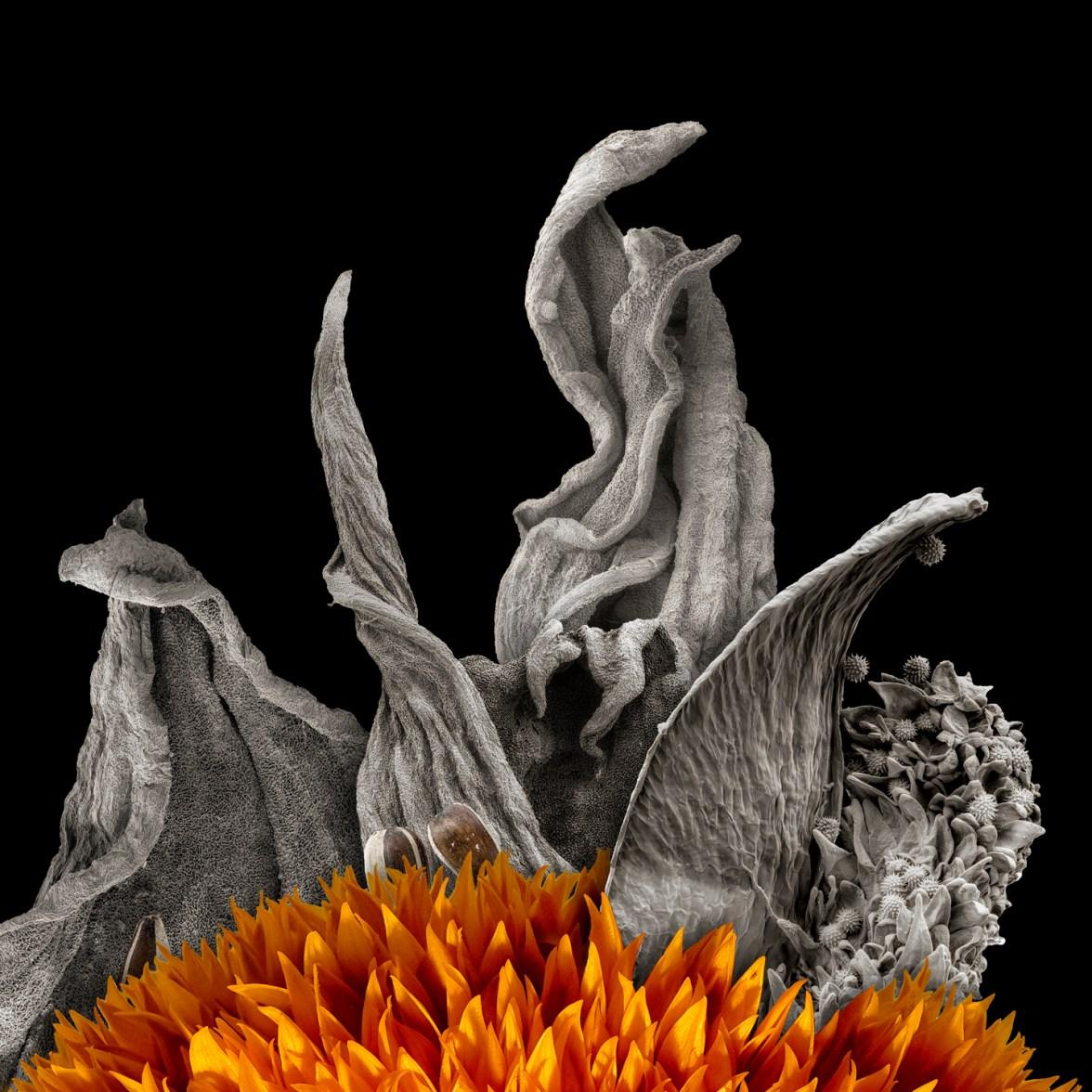 Sunflower © Robert Dash