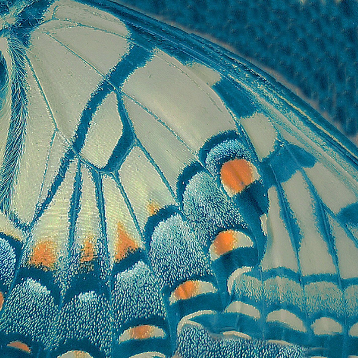 Butterfly Wing, Tricolor Gum © Diana Bloomfield