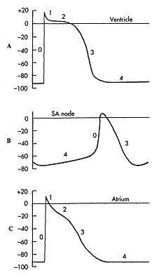 rfumsphysiology / Electrical Activity of the Heart