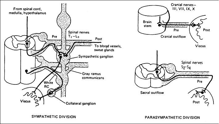 rfumsphysiology / Autonomic Nervous System I