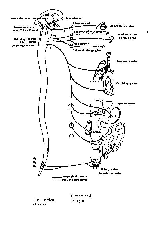 rfumsphysiology / Autonomic Nervous System 1