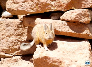 Viscacha do Deserto de Atacama RG Local