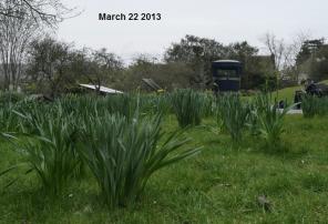 Daffodils 2013