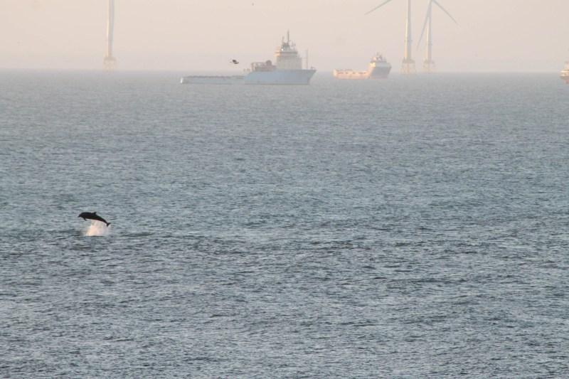 Dolphin jumping off the coast of Aberdeen Beach
