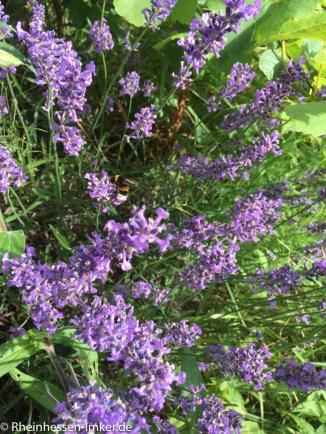 Bienen_2016-07-03_17-14-42-2