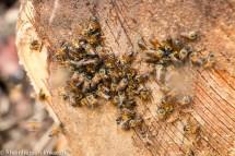 Bienen schlecken Palmsaft.