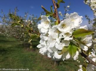 Blüte der Kirsche.