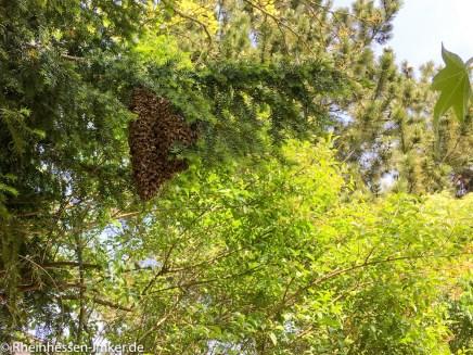 Ein schöner Bienenschwarm.