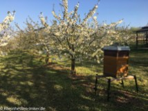 Bienenstock in der Kirschblüte