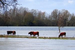 Kühe an der Maas - Skippertraining mit der Motoryacht auf der Maas