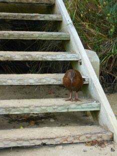 Weka on the stairs. They would come right up to us. Running if we had food out.