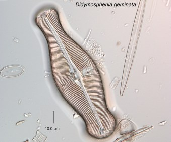 Didymosphenia geminata, SMF0511-2_2