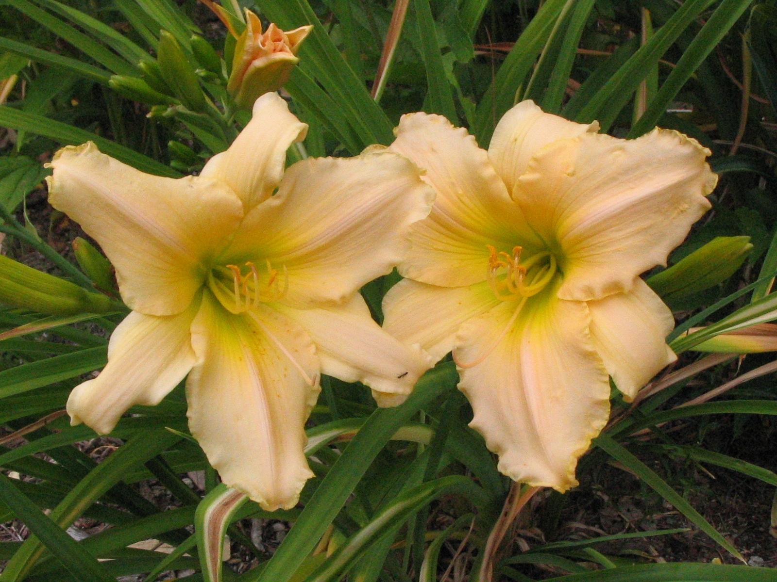 cultivar 'Precious One'