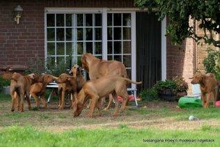 Rhodesian Ridgeback Welpen Tussangana mbey °N AnaSanta . Poyenberg, Schleswig-Holstein, Garten. Nordsee, Deutschland
