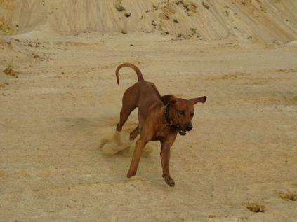 m-Unsere Rhodesian Ridgebacks spielen in der Sandkuhle, Bandele Bathani und Actor Aartijn.