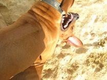 r-Unsere Rhodesian Ridgebacks spielen in der Sandkuhle, Bandele Bathani und Actor Aartijn.