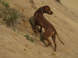 17 Sandkuhlenimpressionen, Unsere Rhodesian Ridgebacks spielen in der Sandkuhle, Bandele Bathani und Actor Aartijn.