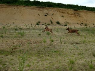 6 Unsere Rhodesian Ridgebacks spielen in der Sandkuhle, Bandele Bathani und Actor Aartijn.