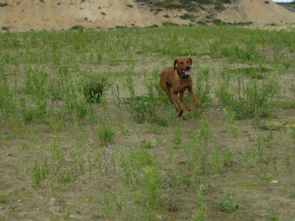 Unsere Rhodesian Ridgebacks spielen in der Sandkuhle, Bandele Bathani und Actor Aartijn.