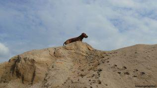 13ridgebacks im sand, schleswig-holstein, kennel tussangana mbey 'n, bettina höhfeld.