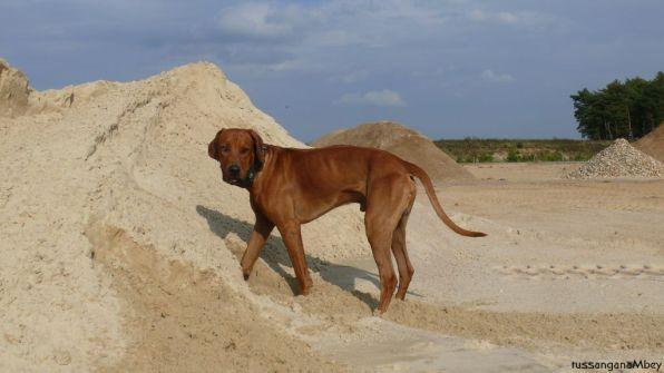 ridgebacks im sand, schleswig-holstein, kennel tussangana mbey 'n, bettina höhfeld.