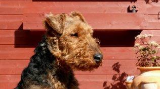 Welsh Terrier Preis