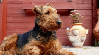 Welsh Terrier Zucht