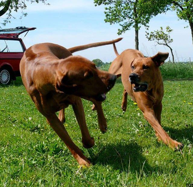 Lexikon, Rhodesian Ridgeback, Abstammung Hund
