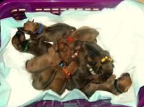 Welpenchen aus der Wurfplanung Kajumba Shakarri