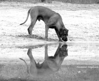 Rhodesian Ridgeback Bild