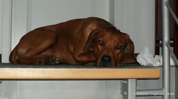 Rhodesian Ridgeback-WESEN des Hundes