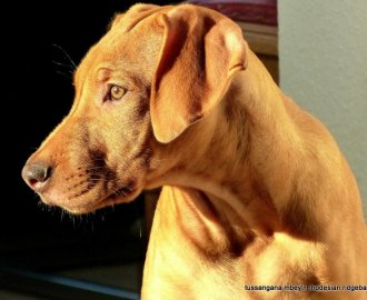 Ridgebacks from Harle River Anaya-Fatou (Sire: Bandele Bathani South African Hunter - Dame: Lionheart Jazuri)