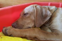 Rhodesian Ridgeback Welpen vom Züchter, Kennel Tussangana mbey 'N Rhodesian Ridgeback-20- Es gibt Tage, da wünscht' ich, ich wär mein Hund